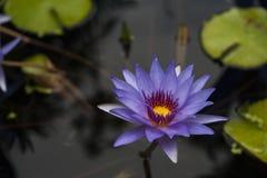 Великолепие Lilly воды Стоковое Фото