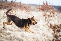 Великолепная собака немецкой овчарки Стоковые Изображения RF