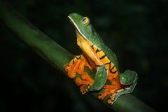 Великолепная лягушка лист Стоковые Изображения RF