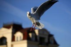 Великолепный грациозно белый голубь Стоковое Изображение
