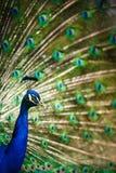 Великолепный павлин с пер вне (cristatus Pavo) Стоковые Фото