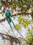 Великолепный Quetzal Стоковое Фото