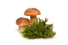 величает белизна 2 гриба о мхе Porcini и мох Стоковое Фото