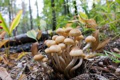 Величает съестной тимберс Еда вегетарианца Осень Макрос closeup Поднимать от земли Стоковое Изображение