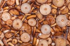 Величает mellea Armillaria пластинчатых грибов меда Стоковые Изображения