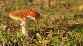 Гриб пластинчатого гриба мухы Стоковые Фото