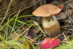 величать Белый грибок на предпосылке корзины Стоковая Фотография RF