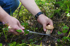 Величать - рука с ножом отрезала подосиновик Большие wi гриба Стоковая Фотография RF