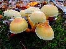 Величают toadstools в лесе Стоковое Изображение