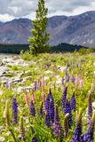Величественная гора при llupins зацветая, озеро Tekapo, Новая Зеландия Стоковые Фото