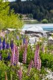 Величественная гора при llupins зацветая, озеро Tekapo, Новая Зеландия Стоковое Изображение RF