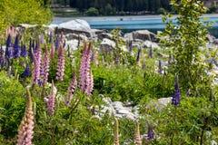 Величественная гора при llupins зацветая, озеро Tekapo, Новая Зеландия Стоковое Фото