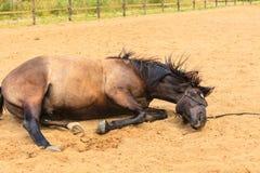 Величественная грациозно коричневая лошадь лежа в луге Стоковые Фотографии RF