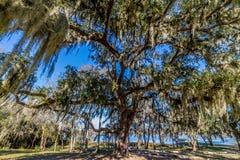 Испанский мох на величественном старом дереве дуба. Стоковое фото RF