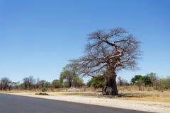 Величественное дерево баобаба Стоковое фото RF