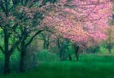Величественно blossoming деревья Сакуры на свежей зеленой лужайке стоковые фото