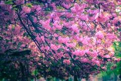 Величественно blossoming деревья Сакуры стоковая фотография