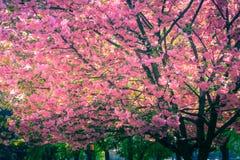 Величественно blossoming деревья Сакуры стоковые изображения