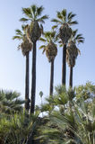 Величественные пальмы Стоковое фото RF