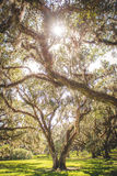 Величественные дубы стоковое фото