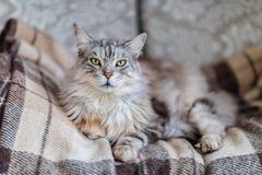 Величественный главный кот енота на коричневом цвете проверил шотландку Стоковое Изображение