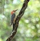Величественный красный цвет bellied woodpecker на лимбе в реальном маштабе времени дуба Стоковые Фотографии RF