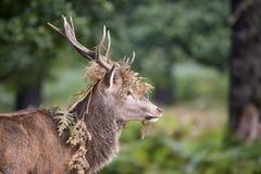 Величественный мощный Cervus Elaphus рогача красных оленей в landsca леса Стоковое Изображение