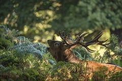 Величественный мощный Cervus Elaphus рогача красных оленей в landsca леса Стоковое Фото
