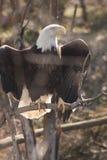 Величественный орел Стоковая Фотография