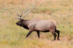 Величественный лось Bull в парке Йеллоустона Стоковое Фото