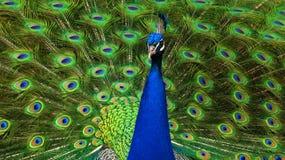 величественный павлин Стоковая Фотография RF