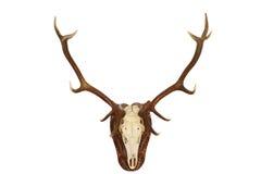 Величественный трофей звероловства рогача красных оленей Стоковая Фотография
