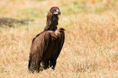 Величественный черный хищник Стоковые Фото