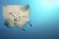Величественный Manta Стоковая Фотография RF