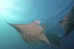 Величественный Manta Стоковое Изображение RF