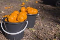Ведра Twi полные мандаринов Стоковая Фотография
