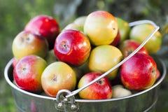 Ведро вполне зрелых красочных яблок Стоковая Фотография