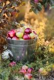 Ведро вполне зрелых яблок в заходе солнца Стоковое Изображение RF