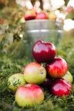 Ведро вполне зрелых яблок в заходе солнца Стоковые Фото