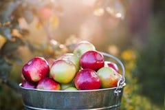 Ведро вполне зрелых яблок в заходе солнца Стоковое Изображение