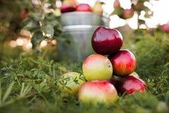 Ведро вполне зрелых яблок на траве Стоковое фото RF