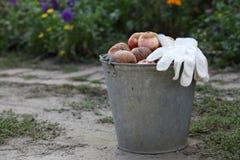 Ведро тухлых яблок Стоковое Фото