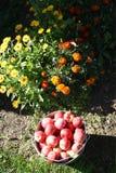 Ведро яблок Стоковые Фотографии RF