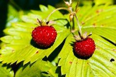 ведро bushes клубника одичалая Стоковая Фотография