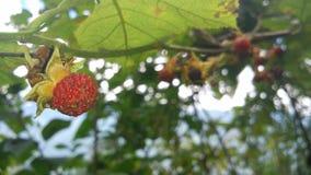 ведро bushes клубника одичалая Стоковая Фотография RF