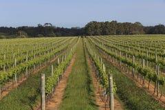 Ведущие линии в сочном зеленом винограднике Стоковое Изображение RF
