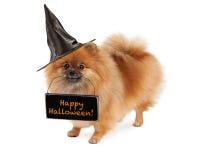 Ведьма Pomeranian нося счастливый знак хеллоуина Стоковое Изображение