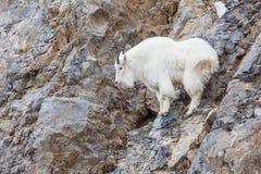 Взбираться козы горы Стоковая Фотография RF
