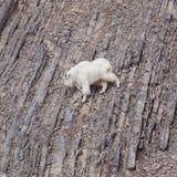 Взбираться козы горы Стоковое Изображение RF