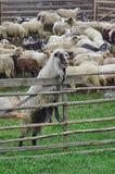 Взбираться козы Стоковая Фотография RF